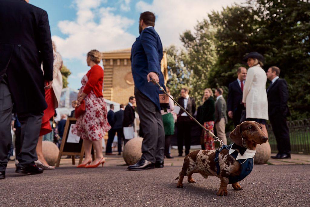 groom with miniature miniature Dachshund on wedding day